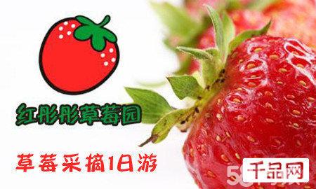 【45元上海青浦草莓采摘一日游团购】