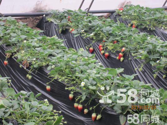采摘节 采摘园 草莓采摘园