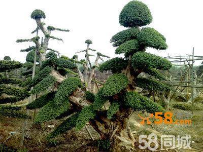 盆景 盆栽 树 松 松树