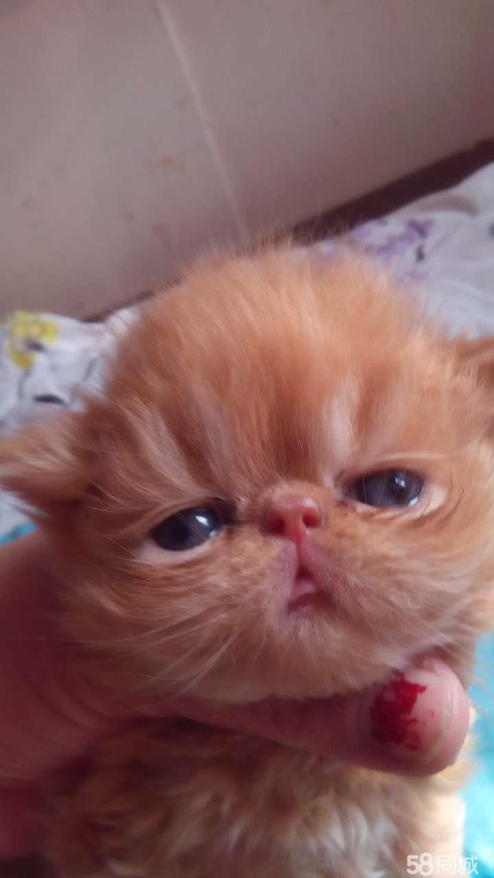 是您养作宠物或是用于繁育小猫的首选性格温顺 活泼可爱.